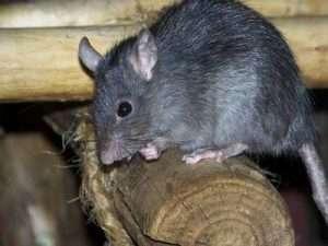 موش سقف (rattus rattus )