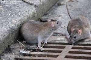 مـوش فاضلاب rattus norvegicus